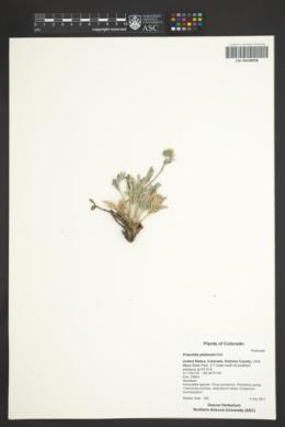 Potentilla plattensis image