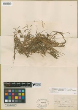 Microseris douglasii subsp. platycarpha image