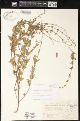 Cuphea lobophora image