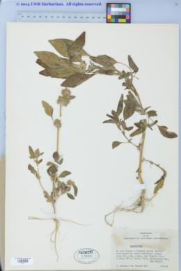 Amaranthus powellii image