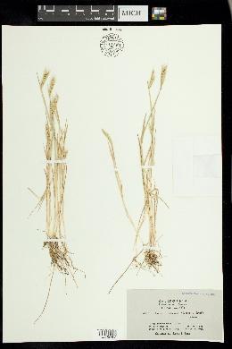 Image of Hordeum depressum