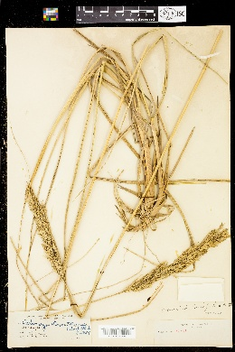 Image of Calamagrostis nutkaensis