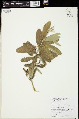 Clitoria laurifolia image