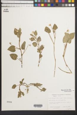 Image of Viola painteri