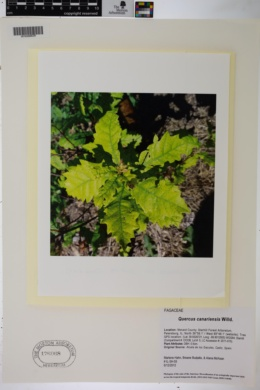 Image of Quercus canariensis