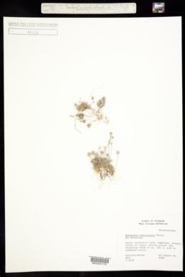 Ceratocephala testiculata image