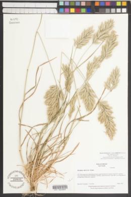 Bromus hordeaceus subsp. molliformis image