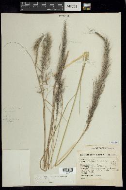 Image of Muhlenbergia versicolor