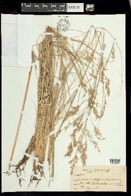 Festuca californica image