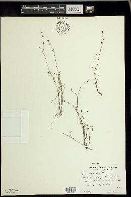 Scleria verticillata image