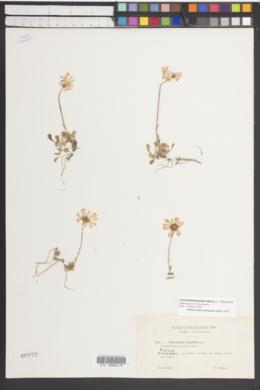 Leucanthemopsis alpina image
