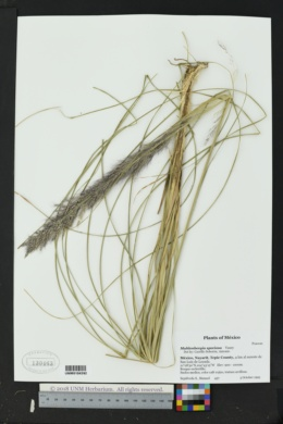 Image of Muhlenbergia speciosa