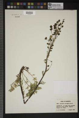 Artemisia arctica image