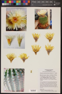 Image of Parodia werdermanniana