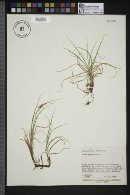 Carex rupestris image