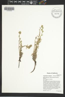 Cryptantha nubigena image
