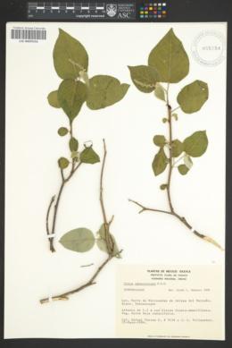 Image of Croton sphaerocarpus