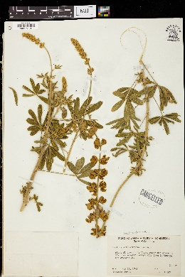 Image of Lupinus mollisifolius