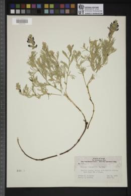 Sophora stenophylla image