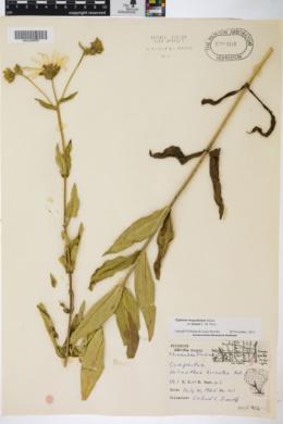 Silphium integrifolium var. deamii image