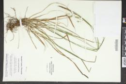 Carex sprengelii image