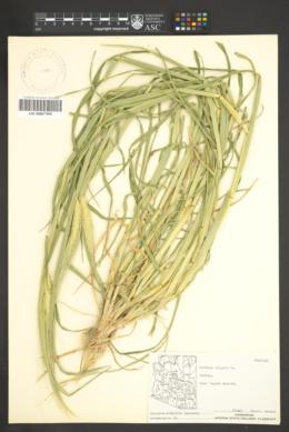 Hordeum vulgare image