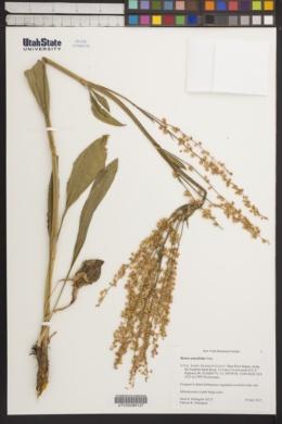 Image of Rumex pauciflorus