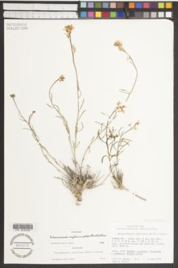 Image of Schoenocrambe argillacea