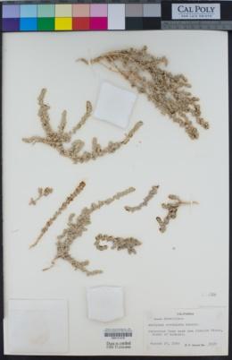 Atriplex cordulata image