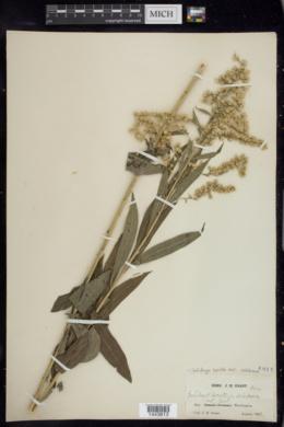 Solidago lepida var. salebrosa image