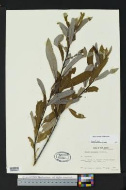 Salix irrorata image