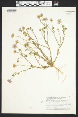 Erigeron bellidiastrum var. bellidiastrum image