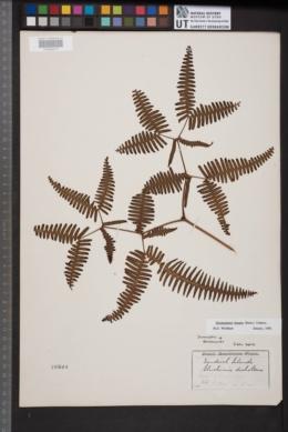 Image of Dicranopteris linearis