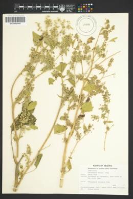 Parthenice mollis image