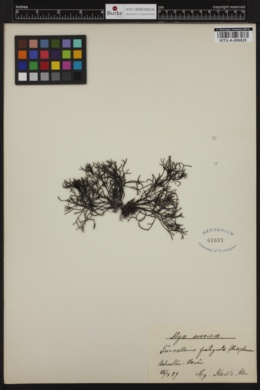 Furcellaria lumbricalis image