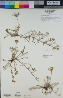 Image of Arctotheca prostrata