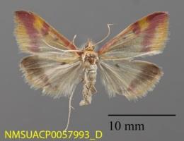 Spoladea recurvalis image