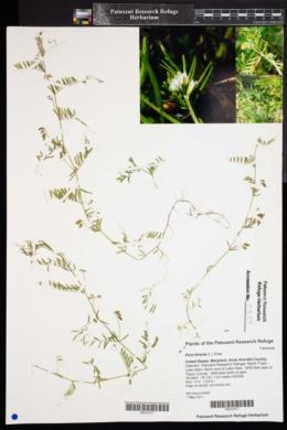 Image of Vicia hirsuta