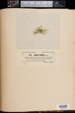 Caulerpa fastigiata image