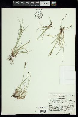 Image of Rhynchospora durangensis