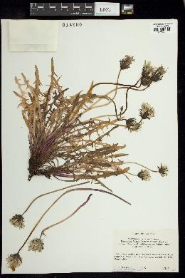 Image of Taraxacum lacerum