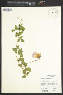 Image of Phaseolus caracalla