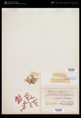 Haraldiophyllum erosum image