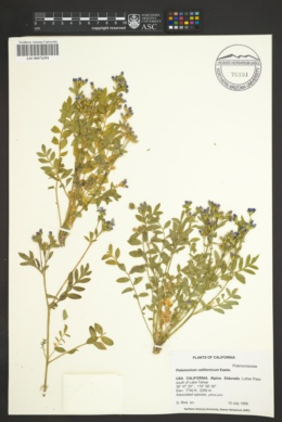 Polemonium californicum image