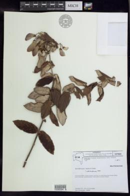 Image of Banisteriopsis harleyi