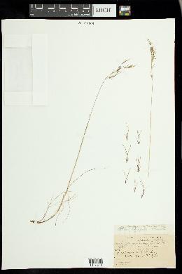 Festuca prolifera image