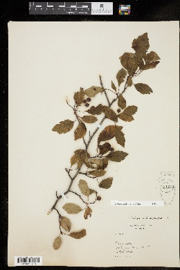 Crataegus × disperma image