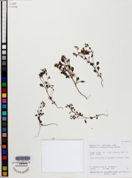 Phacelia cronquistiana image