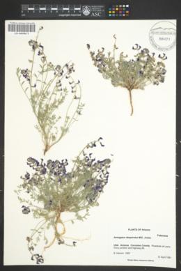 Astragalus desperatus image