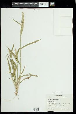Urochloa texana image